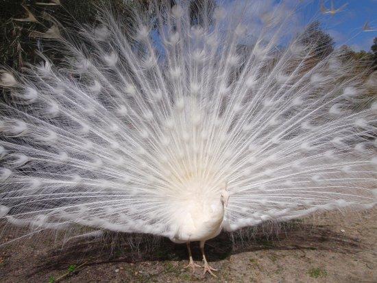 Byford, ออสเตรเลีย: witte pauw