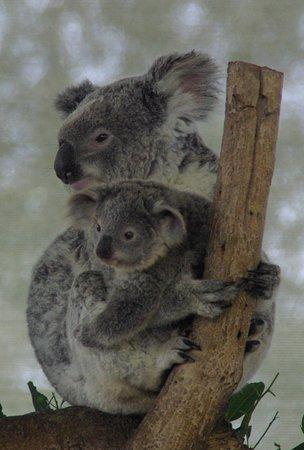 Byford, ออสเตรเลีย: koala
