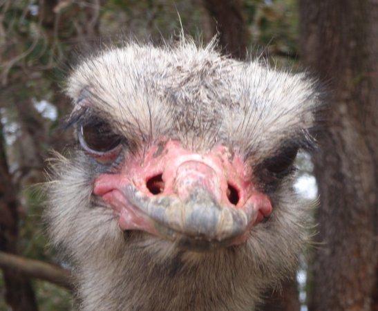 Byford, Australia: struisvogel