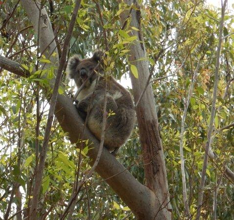 Yanchep, Australia: koala