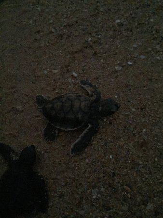 Kosgoda Sea Turtle Conservation Project: photo7.jpg