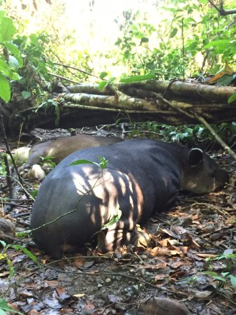 Drake Bay, Costa Rica: The Baird's tapir, and her seven month old calf.