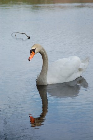 Elmer, Нью-Джерси: One of the swans, this photo was taken at Parvin State Park around 2004
