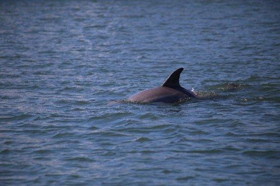 Beaufort, NC: Dolphin