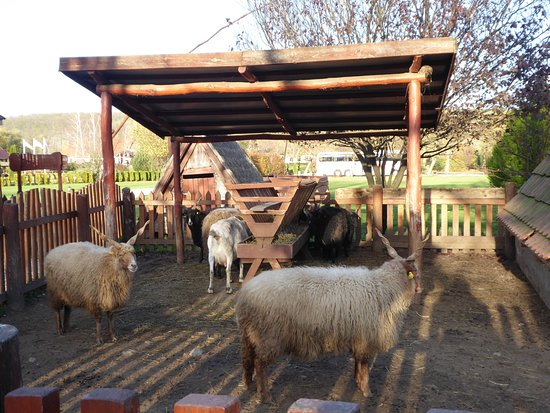 Lazar Equestrian Park: Racka sheep-Took research to ID them!