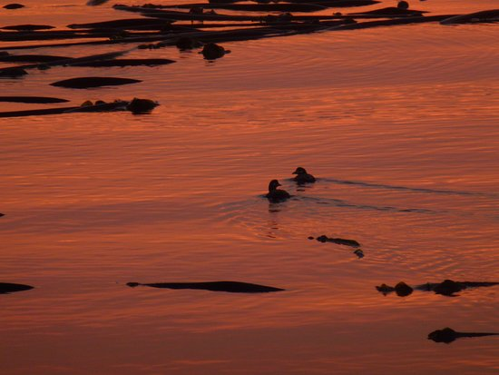 Telegraph Cove, Canadá: Seabirds in the kelp at sunset.