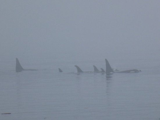 Telegraph Cove, Canada: Whales in the mist right past the island