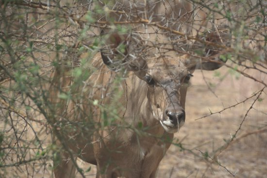 La Petite Cote, Senegal: Neugierige Kudukuh