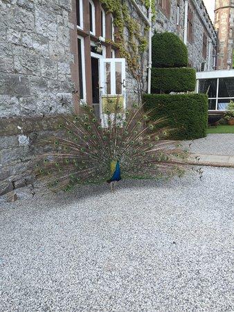 Ruthin, UK: peacock