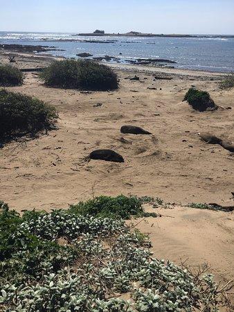 Pescadero, CA: Elephant seals relaxing on the beach
