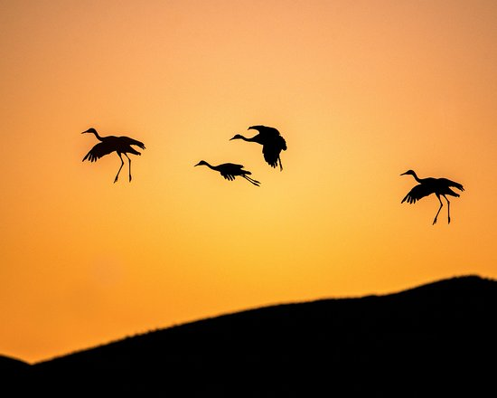 San Antonio, NM: Sandhill Cranes migrate through the refuge each year in February and November. It's amazing to s