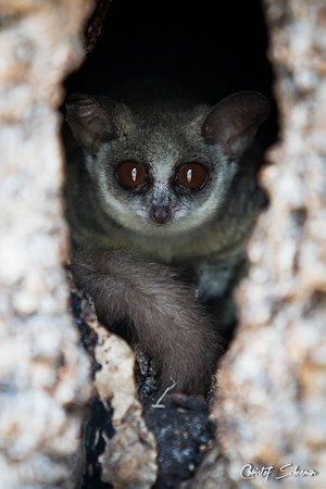 Manyeleti Game Reserve, แอฟริกาใต้: Bush baby in the tree outside the lodge