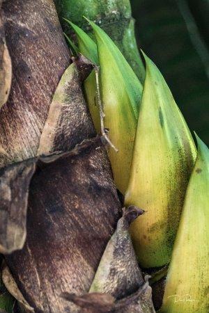 Mele, Vanuatu: A bamboo shoot