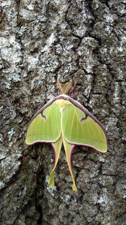 Albemarle, NC: Luna moth