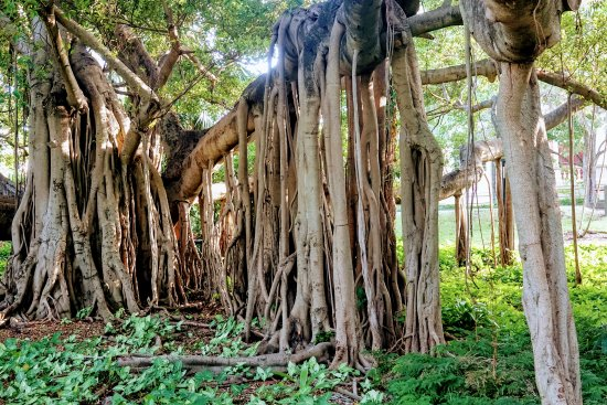 Brisbane, Australien: Old growth banyan trees are impressive