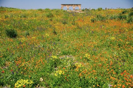Meknès-Tafilalet, Marrocos: Volubilis, Wildblumen