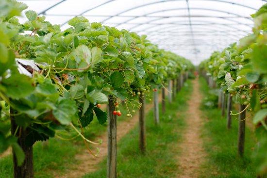 Pick Your Own - Picture of Trevaskis Farm, Hayle - Tripadvisor