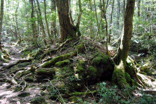 Aokigahara Jukai Misterioso Bosque Rebosante De Leyendas Desde La Antiguedad Picture Of Turismo Victoria Fuji Tripadvisor