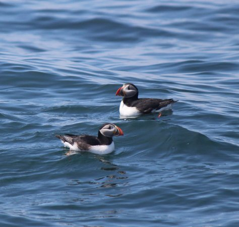 Acadian Nature Cruises : Puffins!
