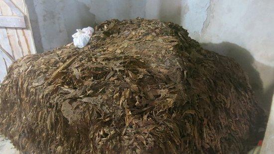 Bayahibe, Dominican Republic: Feuilles de tabac qui sé chent !!
