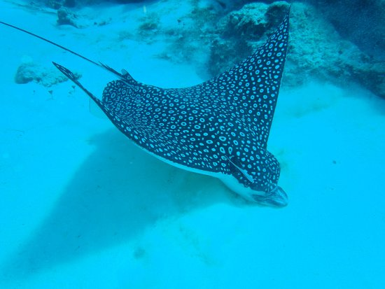 giant spotted eagle ray picture of dive with julio cozumel
