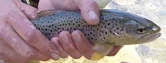 Вильдерсвиль, Швейцария: My first brown trout