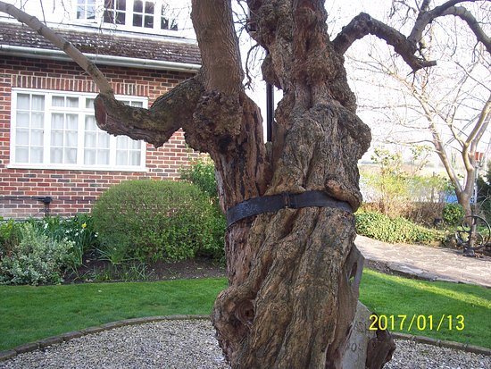Shepperton, UK: A very old tree in the grounds. Bound with an iron band.