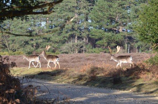 Bolderwood Deer Sanctuary: Ambling across in front of me.