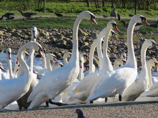 Slimbridge, UK: Swans