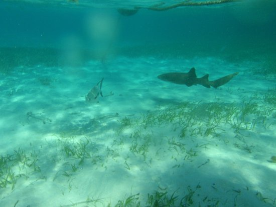 Caye Caulker, Belize: Nurse Shark