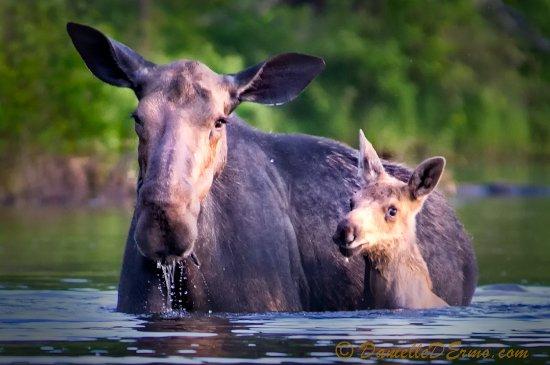 Greenville, ME: Privately guided 'Moose Safari's' are a truly unique adventure