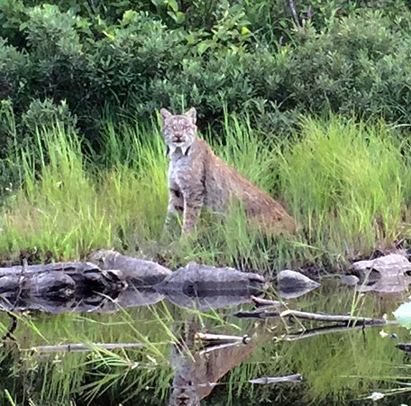 Greenville, ME: Wildlife abounds!