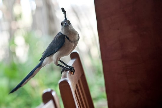 Hotel Capitan Suizo: Blue Magpie