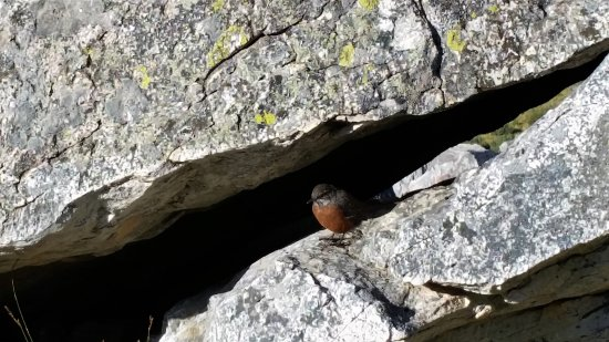 Oudtshoorn, Sudáfrica: Cape rockjumper female on the path at 'Die Top', close enough for a phone camera!