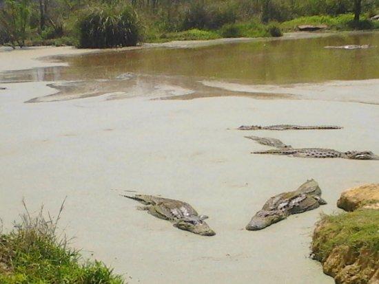 Moss Point, MS: more alligators