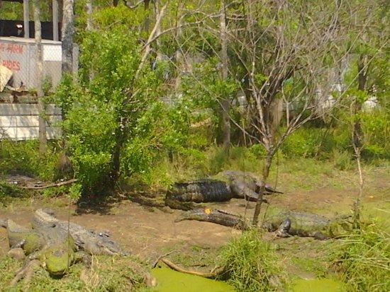 Moss Point, MS: alligators