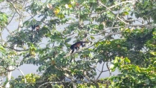 Santa Elena, Costa Rica: Black Howler Monkey.