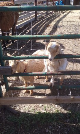 Desert Rose Bed and Breakfast: adorable goats away from the house but on the grounds.