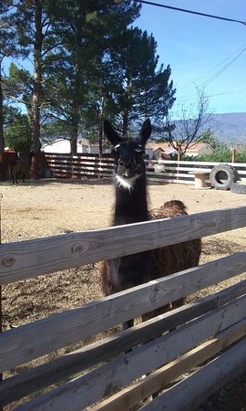 Desert Rose Bed and Breakfast: several llamas were so fun to see too