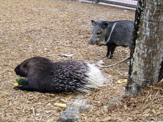 Clewiston, FL: porcupine