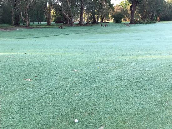 Tewantin-Noosa Golf Club: Amazing fairways and heaps of chilled out roos
