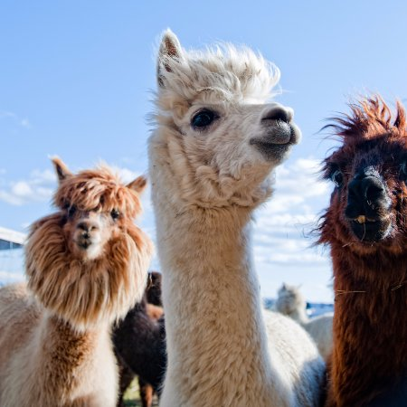 Creswick will have alpacas visit their stores on Saturday 8th and Sunday 9th April from 10am-3pm