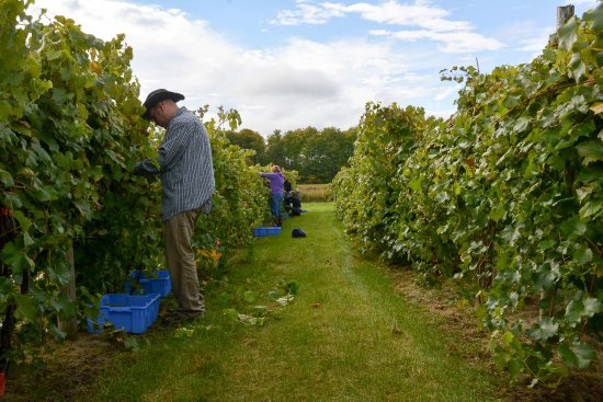 Bark River, MI : Estate grown wines being harvested at Norther Sun Winery.
