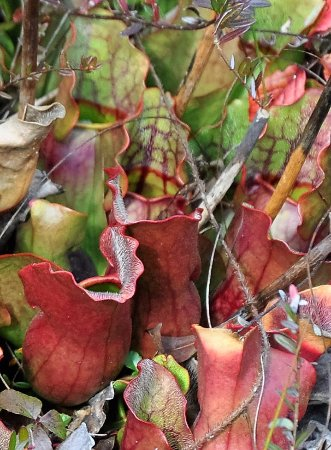 Marlinton, WV: Carnivorous pitcher plants at the Glades
