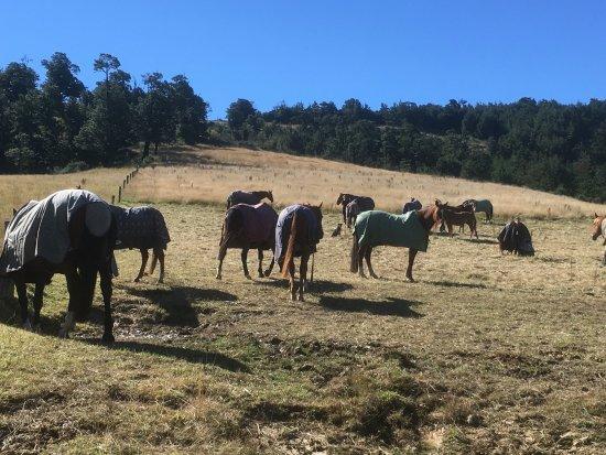 Oxford, Nueva Zelanda: Happy horses in the paddock