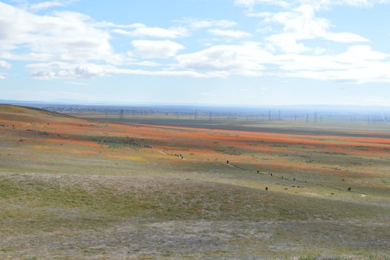 Antelope Valley California Poppy Reserve: Poppies in the distance.