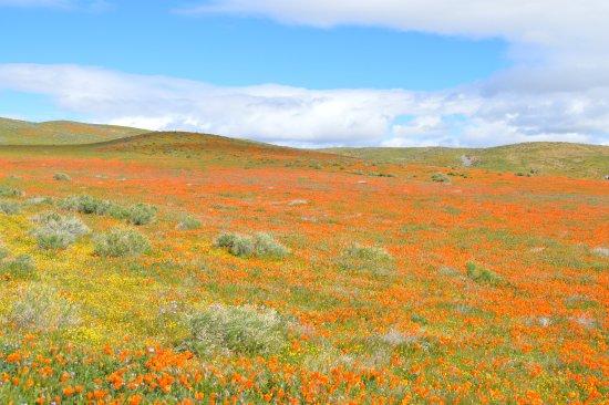 Antelope Valley California Poppy Reserve: Carpet of yellow and orange.