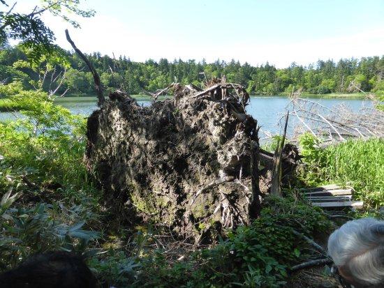 Rishirifuji-cho, Giappone: 朽ちた倒木の残り株