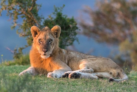 Grahamstown, South Africa: Lion