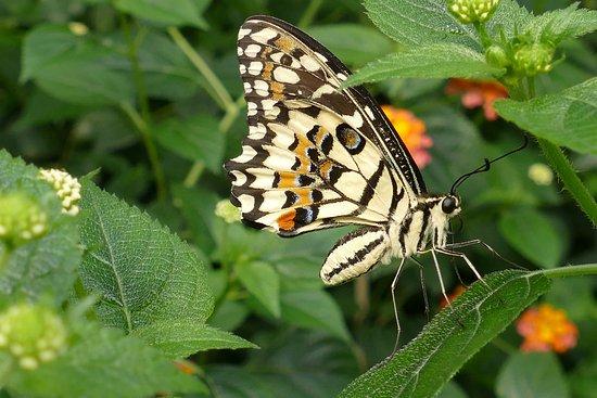 Kerzers, Switzerland: Papillon .